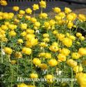"Купальница ""Lemon Supreme"" (Trollius)"