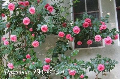 Плетистая роза лавиния.