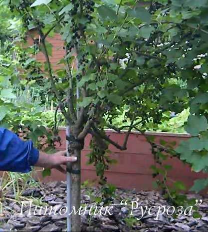 Выращивание штамбовой смородины 13