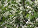 Черемуха виргинская (Рadus virginiana)