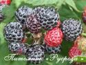 "Ежемалина черная Rubus Idaeus Black × Rubus fruticosus ""Cumberland"" (Кумберленд)"