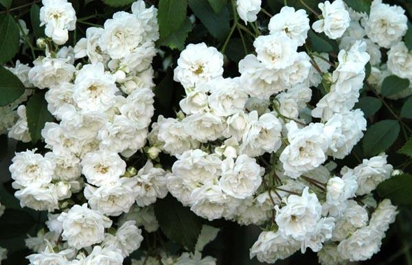 Альба цветок