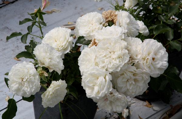 Роза флорибунда Уайт Диадем