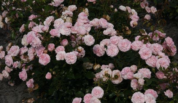 Роза лариса фото и описание