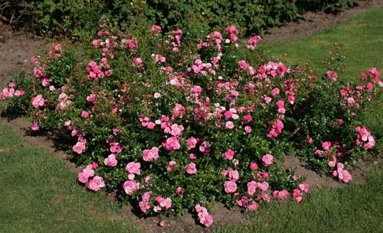 Почвопокровные розы купить в москве