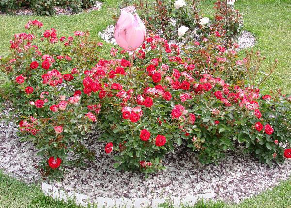Schone koblenzerin роза