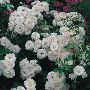 Роза аспирин-описание
