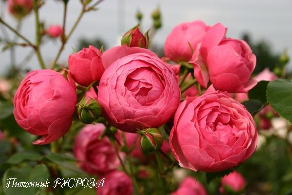 Саженцы пионовидные розы