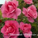 THE MCCARTNEY ROSE (Зе Маккартни Роуз)