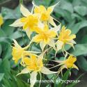 "Аквилегия ""Yellow Star"" (Aquilegia)"