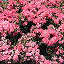 Подмосковный питомник почвопокровных роз